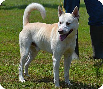 Akita/Labrador Retriever Mix Dog for adoption in Lebanon, Missouri - Charlie