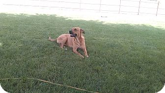 Labrador Retriever/Rhodesian Ridgeback Mix Puppy for adoption in San Antonio, Texas - Ginger