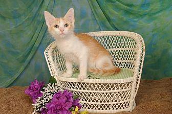 Domestic Shorthair Kitten for adoption in mishawaka, Indiana - Ross