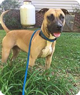 Boxer Mix Dog for adoption in Coeburn, Virginia - HOPE