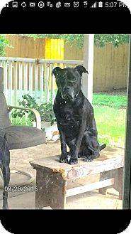 American Pit Bull Terrier/Labrador Retriever Mix Dog for adoption in CASCADE, Wisconsin - Nacho