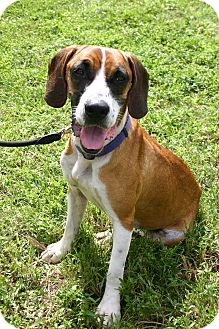 Beagle/Boxer Mix Dog for adoption in Ft Myers Beach, Florida - Sweet Beauty!!!