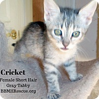 Adopt A Pet :: Cricket - Temecula, CA
