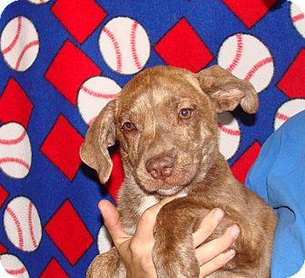 Plott Hound/Labrador Retriever Mix Puppy for adoption in Oviedo, Florida - Vaca