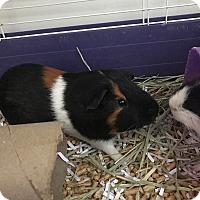 Adopt A Pet :: Bucky - Manhattan, KS