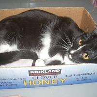 Domestic Shorthair Cat for adoption in Alamo, California - Little Honey
