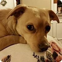 Adopt A Pet :: Choppy - Middlebury, CT