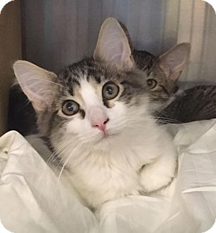 Domestic Mediumhair Kitten for adoption in Boynton Beach, Florida - MICAH