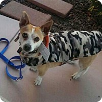 Cardigan Welsh Corgi/Rat Terrier Mix Dog for adoption in LAKEWOOD, California - Nemo