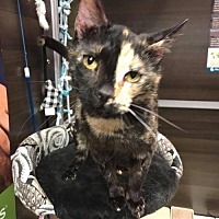 Adopt A Pet :: Addy - Chandler, AZ