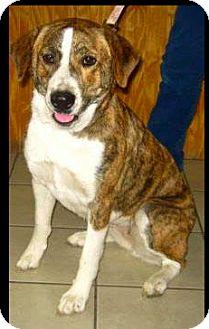 Newfoundland/Boxer Mix Dog for adoption in Sedona, Arizona - Kira