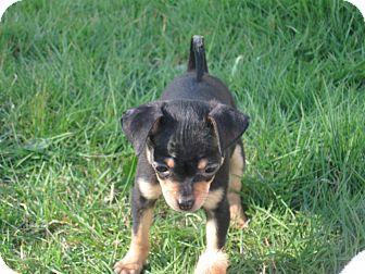 Chihuahua Puppy for adoption in Tumwater, Washington - Ella