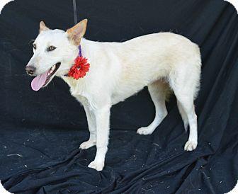 Shepherd (Unknown Type) Mix Dog for adoption in Plano, Texas - Marnie