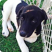 Adopt A Pet :: Shirley - Seattle, WA