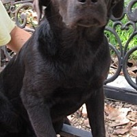Labrador Retriever/Hound (Unknown Type) Mix Dog for adoption in Bay Springs, Mississippi - S848 Rose