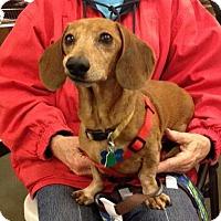 Adopt A Pet :: Oscar - Adoption Pending - Gig Harbor, WA