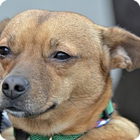 Adopt A Pet :: Shilo - Meridian, ID