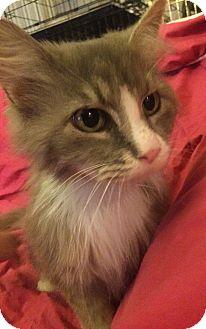 Domestic Mediumhair Cat for adoption in Rochester, Michigan - Hannah