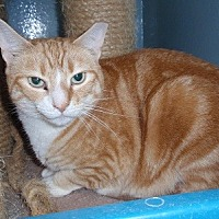 Domestic Shorthair Cat for adoption in Ashland, Massachusetts - Gretel