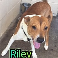 Adopt A Pet :: Riley - Barnwell, SC