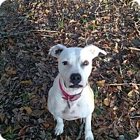 Adopt A Pet :: Daisy - Courtesy Listing - Charlotte, NC