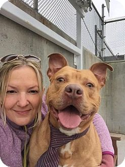 American Staffordshire Terrier/American Pit Bull Terrier Mix Dog for adoption in Kimberton, Pennsylvania - THRILLER