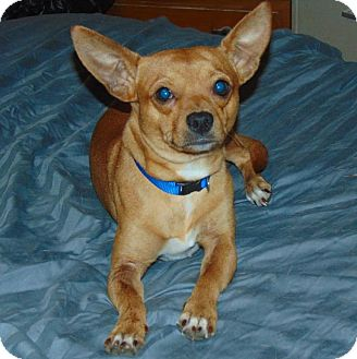 Chihuahua Mix Puppy for adoption in Seattle, Washington - Lucas