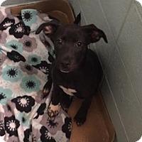 Adopt A Pet :: Faith - Pompton Lakes, NJ