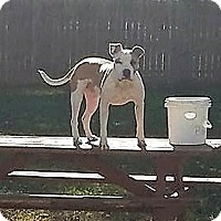 American Staffordshire Terrier Mix Dog for adoption in Lima, Ohio - Hank