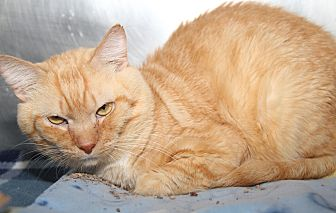 Domestic Shorthair Cat for adoption in Marietta, Ohio - Mufasa
