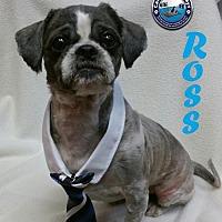 Adopt A Pet :: Ross - Arcadia, FL