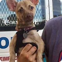 Adopt A Pet :: Fiat - Chandler, AZ