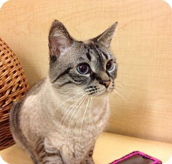 Himalayan Cat for adoption in Howell, New Jersey - Joey &Zoey