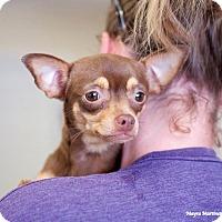Adopt A Pet :: Sugar Brown - Knoxville, TN