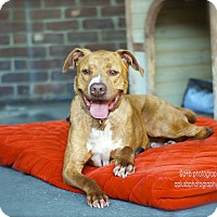 American Staffordshire Terrier/Labrador Retriever Mix Dog for adoption in Los Angeles, California - Adorable Bosco-VIDEO
