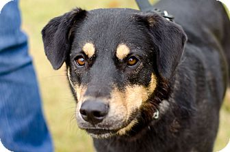 Rottweiler Mix Dog for adoption in Arlington, Tennessee - Highway