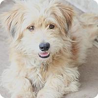 Adopt A Pet :: Nigel - Norwalk, CT