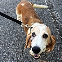 Basset Hound Dog for adoption in Charleston, South Carolina - Jenny
