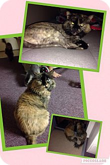 Domestic Longhair Cat for adoption in Scottsdale, Arizona - Sissi