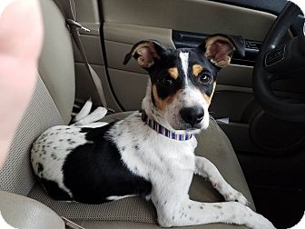 Jack Russell Terrier Mix Dog for adoption in Manchester, Connecticut - Jack pending adoption
