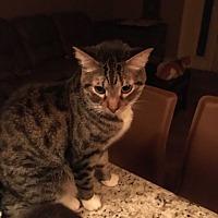 Adopt A Pet :: Boots - Lauderhill, FL