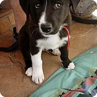Adopt A Pet :: RALPHIE - Albuquerque, NM