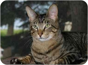 Domestic Shorthair Cat for adoption in Montgomery, Illinois - Travis