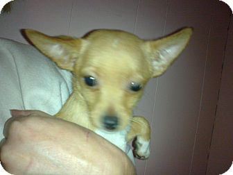 Chihuahua Mix Puppy for adoption in Cumberland, Maryland - Jingle