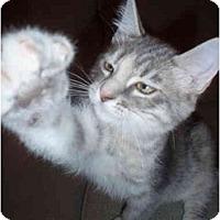 Adopt A Pet :: Chillona - Davis, CA