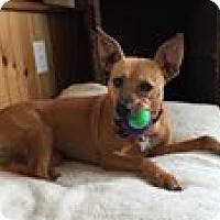 Adopt A Pet :: Cookie adoption pending - North Haverhill, NH