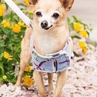 Adopt A Pet :: Chico Sr. - Mesa, AZ
