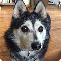 Adopt A Pet :: Miki - Denver, CO
