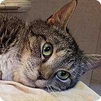 Domestic Shorthair Cat for adoption in New York, New York - Odessa