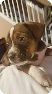 Hound (Unknown Type) Mix Puppy for adoption in Elon, North Carolina - Bowie